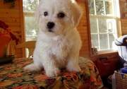 New Babies Bichon Frise Puppies for Sale