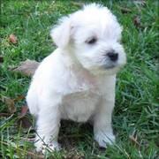 Schnauzer -- Miniature Puppy Free Adoption