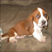 Handsome Basset Hound puppy for adoption