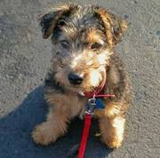 I have a super litter of Welsh Terriers puppies